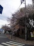 sengen_sakura.jpg